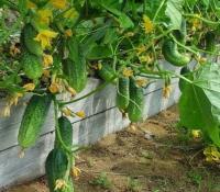 Салаты из нового урожая - экологически чистый продукт: огурчики