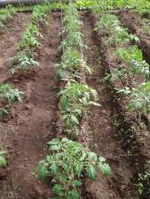 Рассада томатов, огурцов - к лету замечательный урожай!