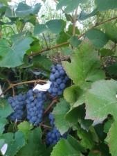 Виноград на собственной плантации